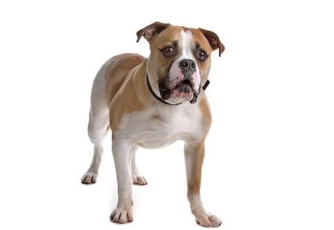 Amerikanische Bulldogge Feragen
