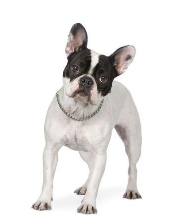 Franzosische Bulldogge Feragen
